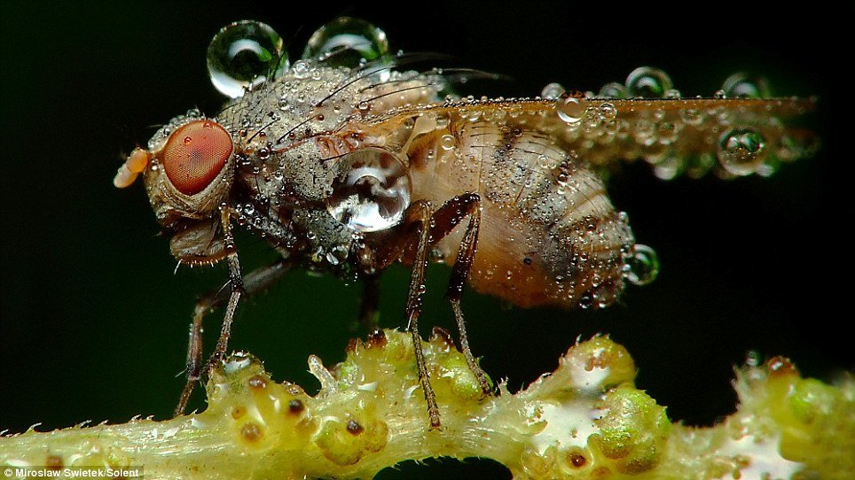06 - stunning pictures of sleeping insects covered in water droplets