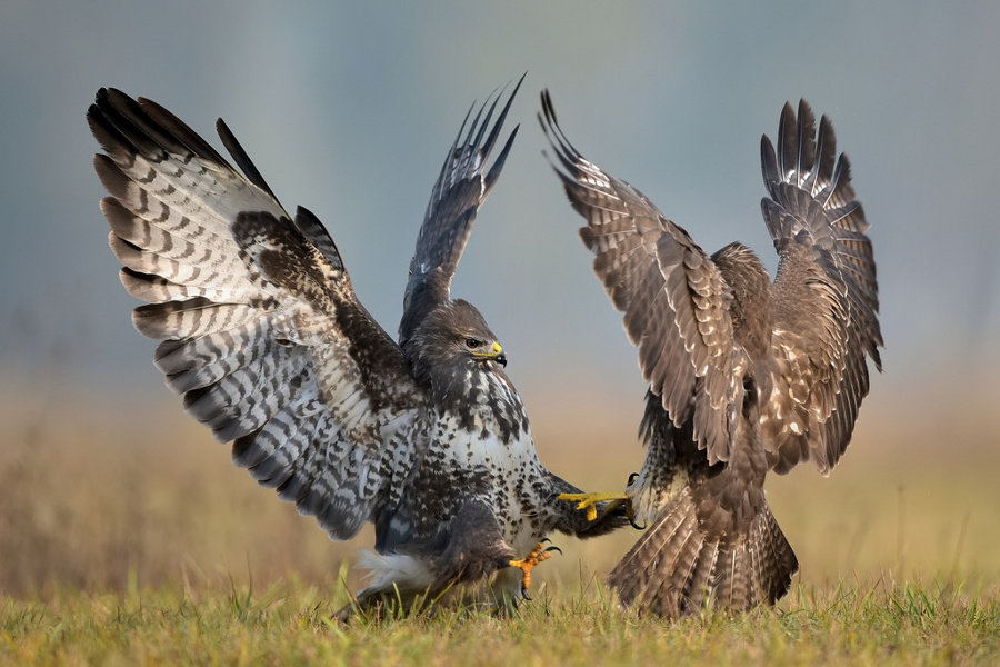 1018687 - beautiful photos of eagles engaged in aerial combat