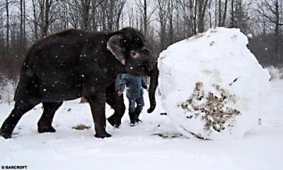 11 - two elephant made a bigest snowball