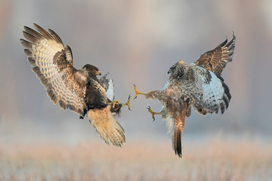 1124973 - beautiful photos of eagles engaged in aerial combat