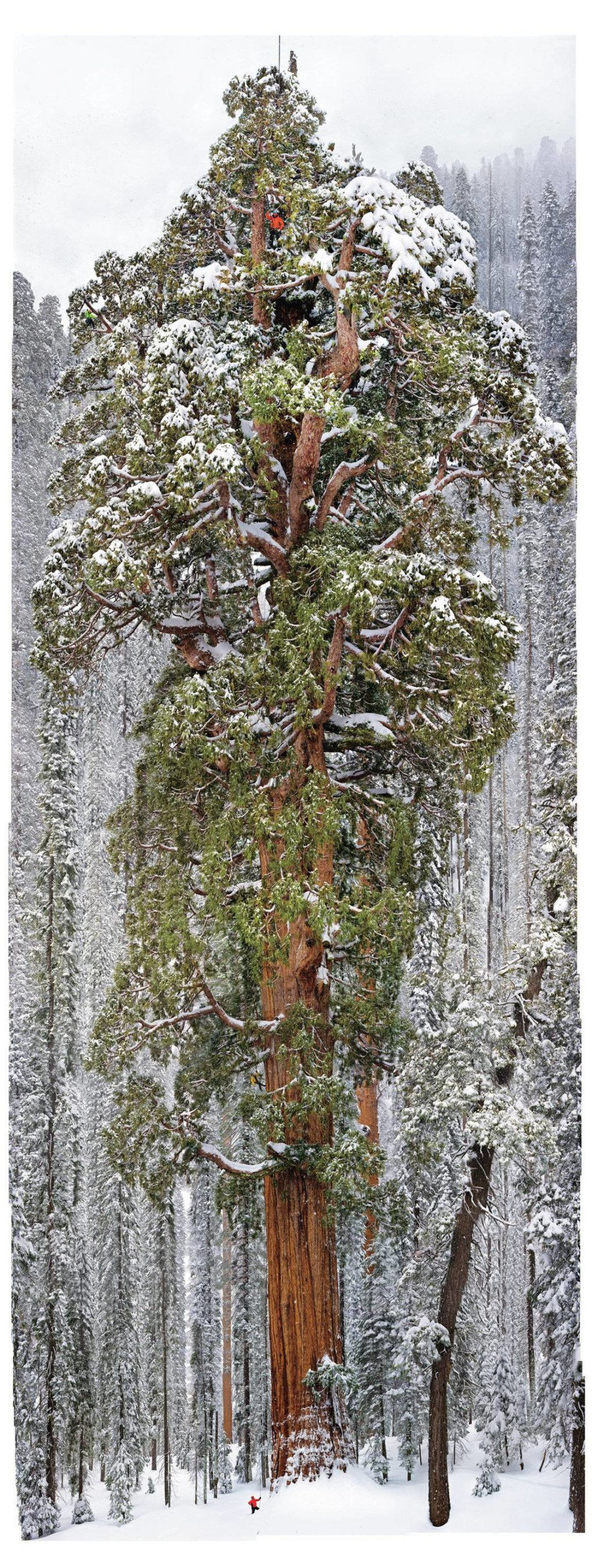 images combined show massiveness year tree sequoia national park