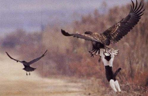 127 - a cat and eagle