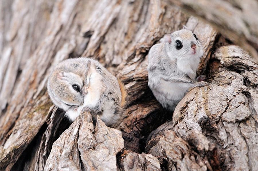 1446555582 l - japanese dwarf flying squirrel is one of the most adorable animals on earth