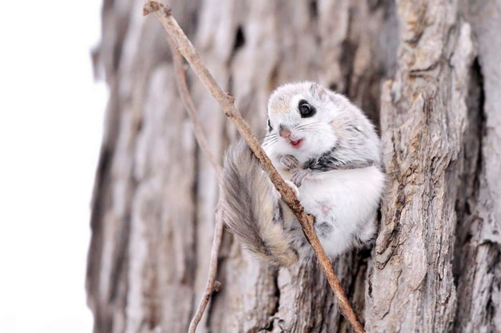 148222482717991169 - japanese dwarf flying squirrel is one of the most adorable animals on earth