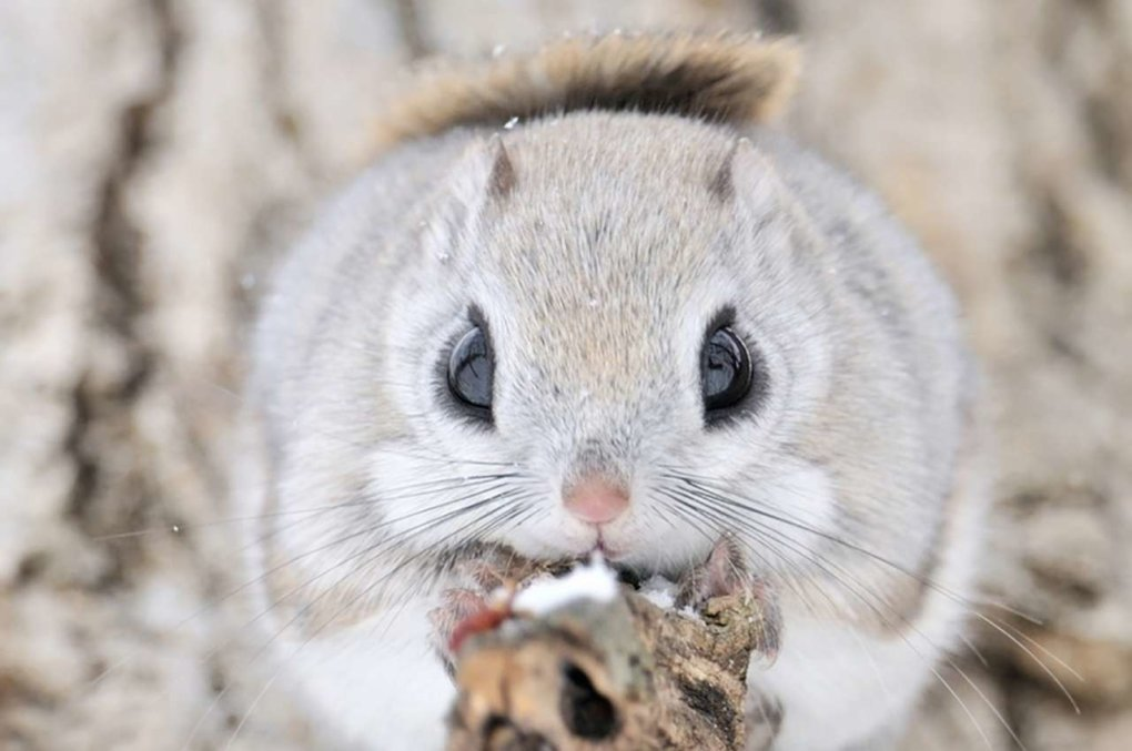 1482224828178050390 - japanese dwarf flying squirrel is one of the most adorable animals on earth