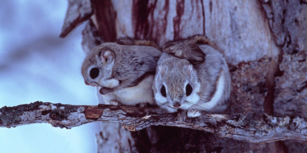 1482224835144072552 - japanese dwarf flying squirrel is one of the most adorable animals on earth