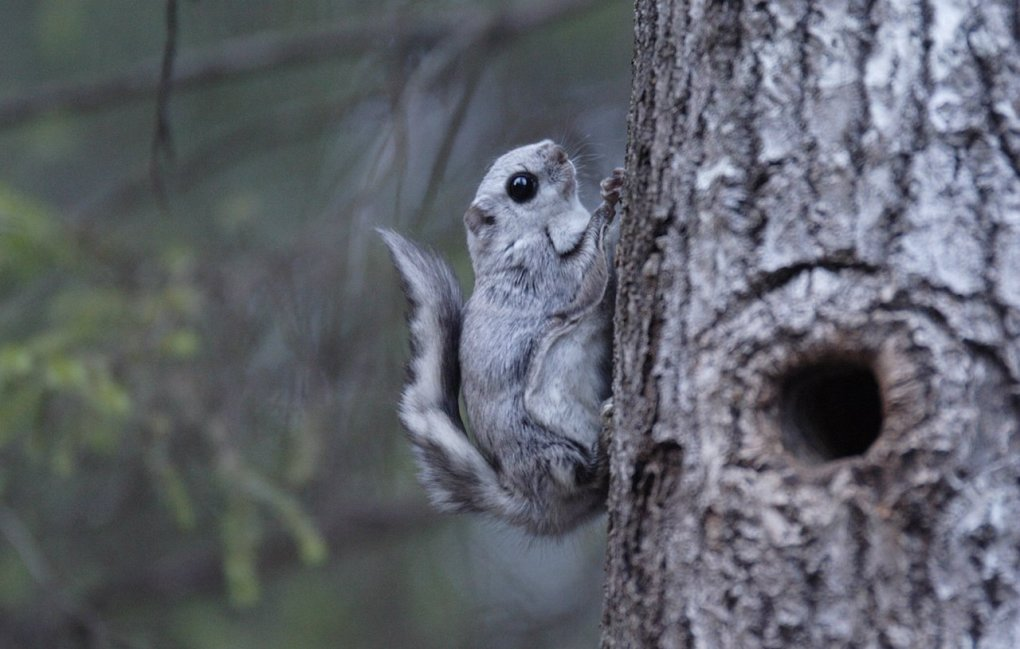 1482224836179583677 - japanese dwarf flying squirrel is one of the most adorable animals on earth
