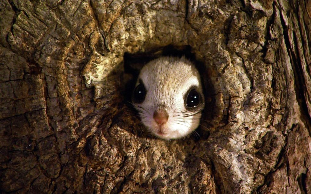 1482224838137951477 - japanese dwarf flying squirrel is one of the most adorable animals on earth