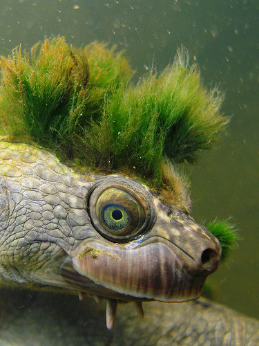 1490121397 10d97d7acb - mary river turtle