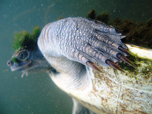 1490127951 b60d92bcd8 - mary river turtle