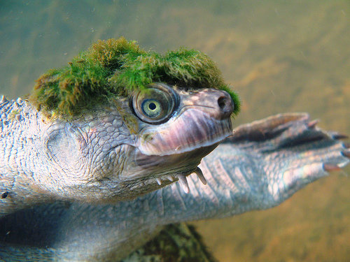 1490130923 82bf81709f - mary river turtle