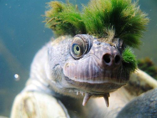 1490134039 364640036d - mary river turtle