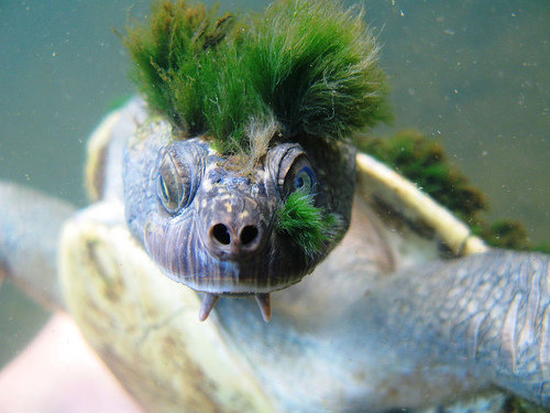 1490978778 93c3bb52f2 - mary river turtle