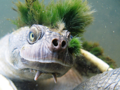 1490980214 46d81083d7 - mary river turtle