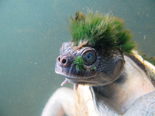 1490982272 4896819f89 - mary river turtle