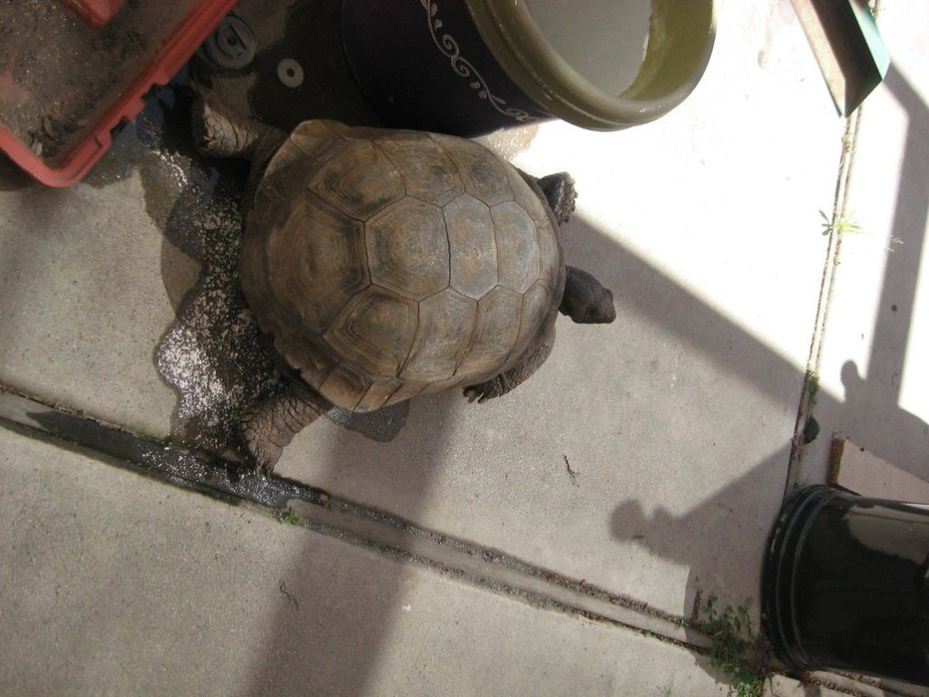 year desert tortoise came out hibernation released his huge pee year