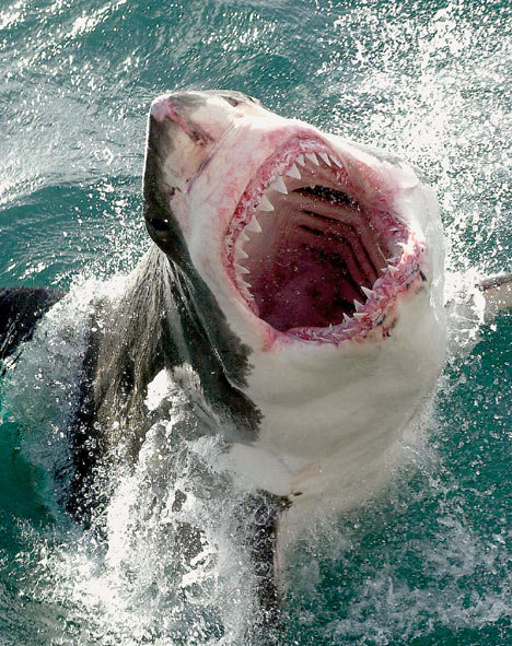 19sharkdm 468x591 - if you coould be an animal...... what would it be?