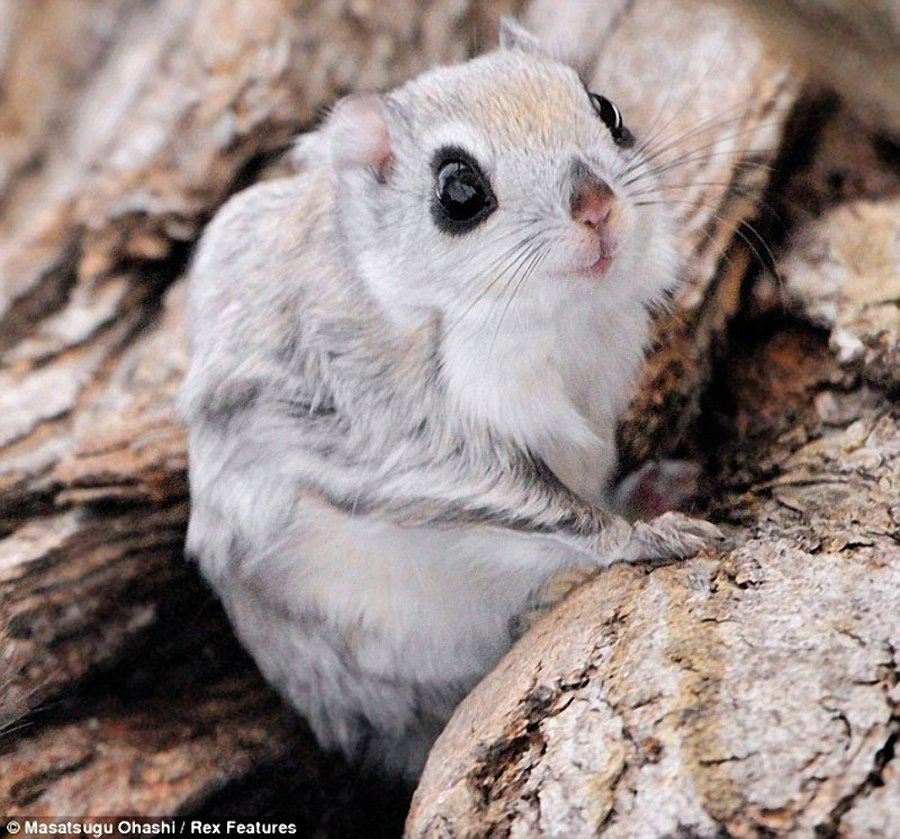 20130903001704 - japanese dwarf flying squirrel is one of the most adorable animals on earth