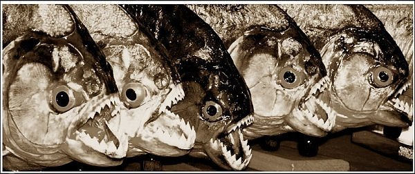 2041753760104181437s600x600q85 - most diabolical fish on earth