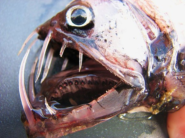 2147827830104181437s600x600q85 - most diabolical fish on earth