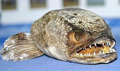 2424196580104181437s600x600q85 - most diabolical fish on earth