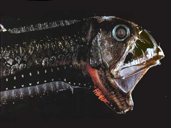 2830250590104181437s600x600q85 - most diabolical fish on earth