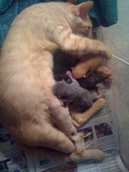 34497 1451108592115 1065253547 31304110 5637851 n - my cat is taking care of her kittens
