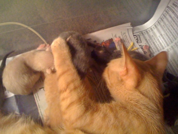 38456 1451107912098 1065253547 31304109 2447664 n - my cat is taking care of her kittens