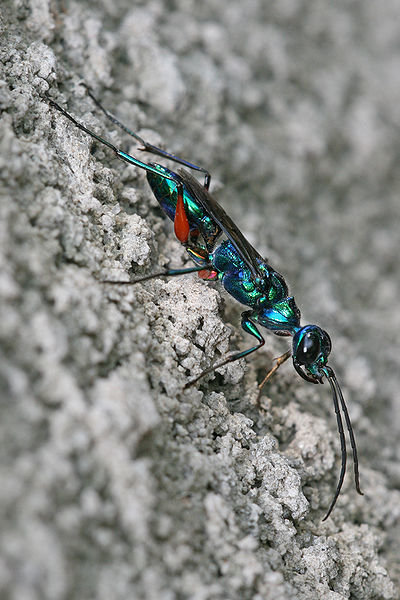 400pxampulexcompressa 1 - incredibly awesome-looking insects