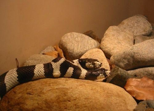 6 - rare snake with 2 heads!