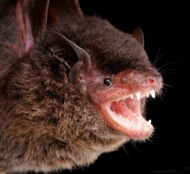 72085524ue6 - gallery of bat face
