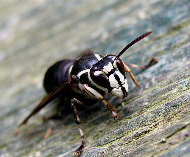 726px baldie - pain index? how insect's are rated for pain