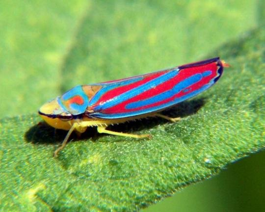 750pxgraphocephalacoccinea6 1 - incredibly awesome-looking insects
