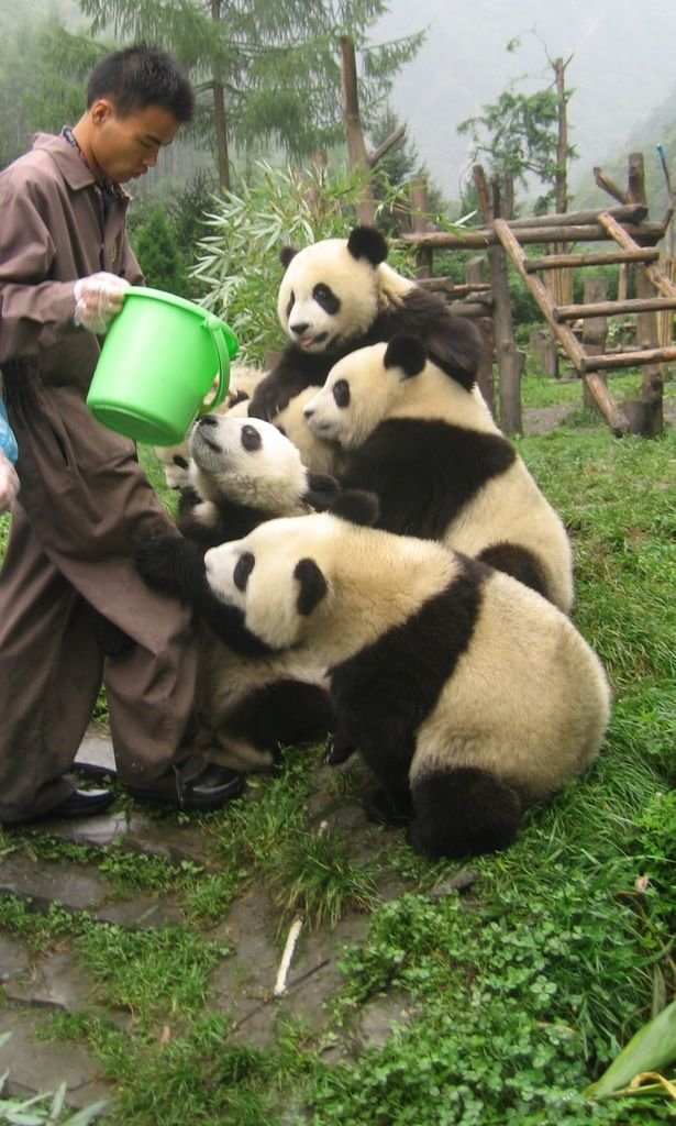 78002058 - panda bears: they can't wait for you to feed them