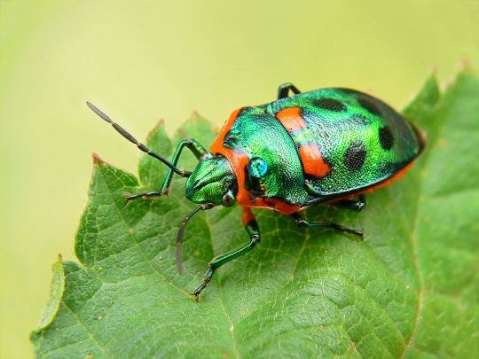 800pxmetallicshieldbug444 1 - incredibly awesome-looking insects