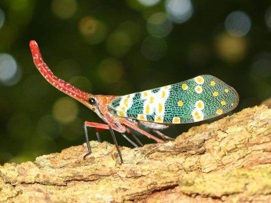 800pxpyropscandelaria 1 - incredibly awesome-looking insects