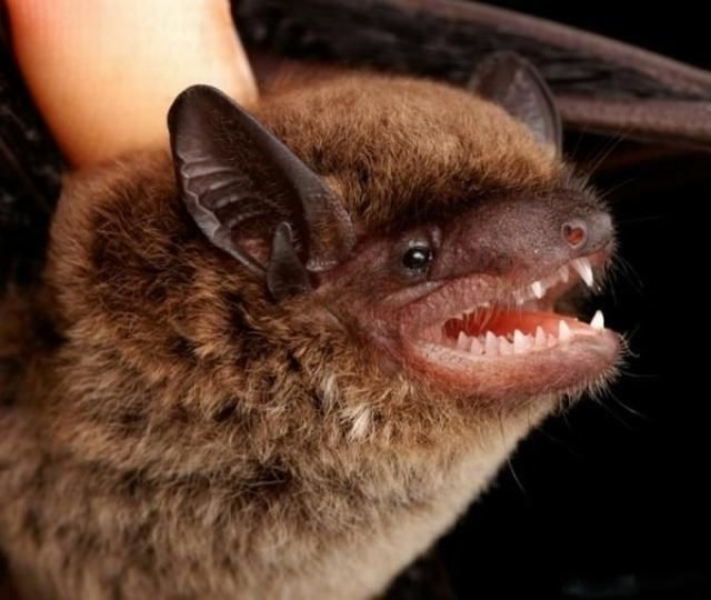 81890609vf7 - gallery of bat face