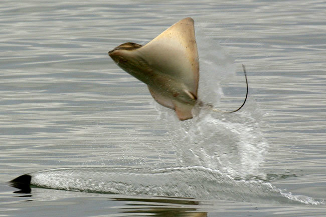 bn6rf - stingray leaping out of the water to escape killer whale