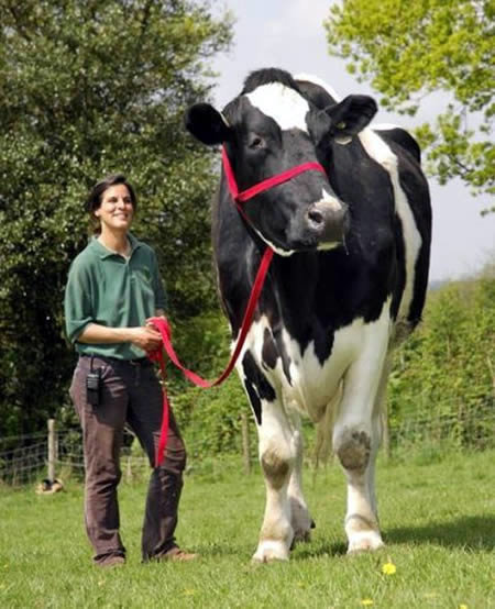 cow - biggest animals
