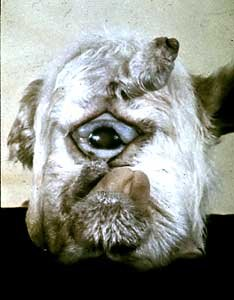 cyclopelamb2 - head of a lamb born by a sheep which ate leaves of the corn lily plant.