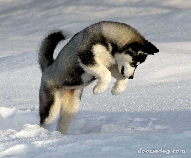 huskypuppy - what is your favorite dog breed?