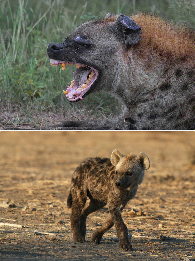 hyenas - the most dangerous animals as babies