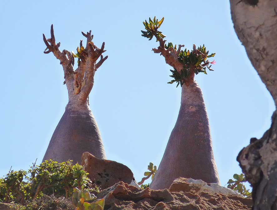 jqq5ayy - socotra island, yemen. one of the most alien looking places on earth.