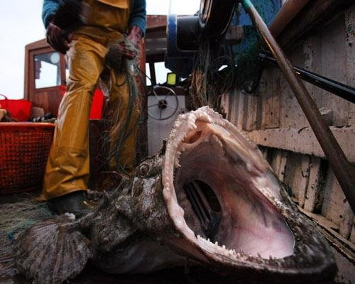 monkfish - some of the ugliest animals on the planet