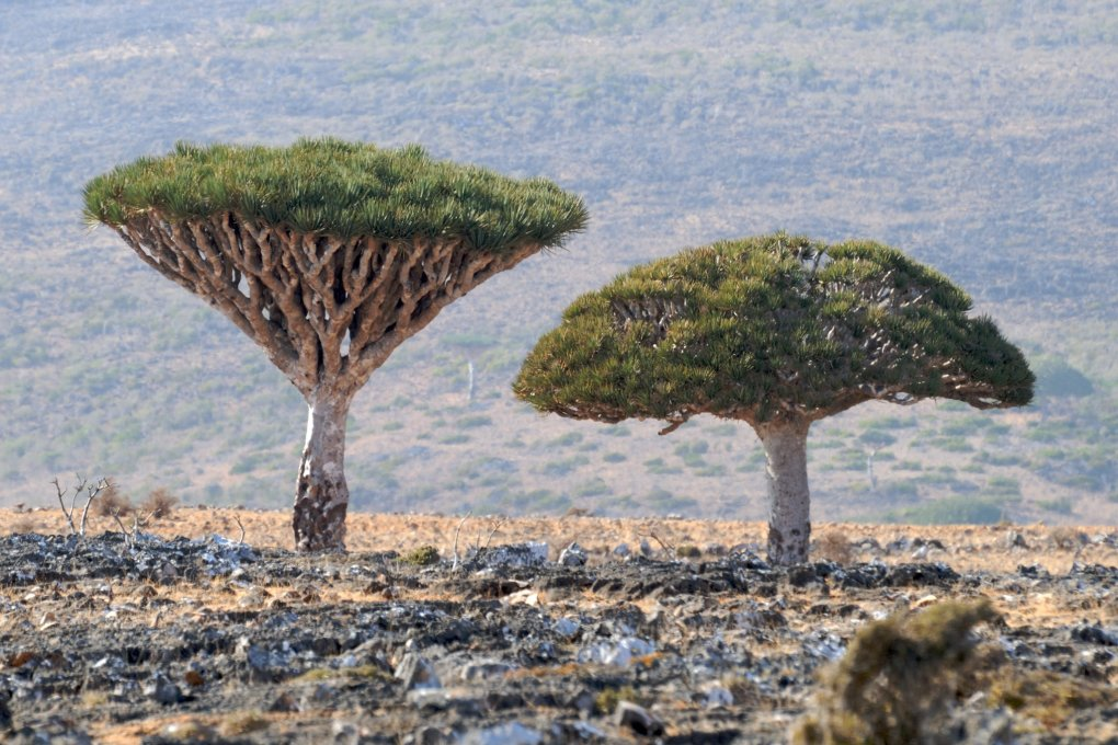 oyepyua - socotra island, yemen. one of the most alien looking places on earth.
