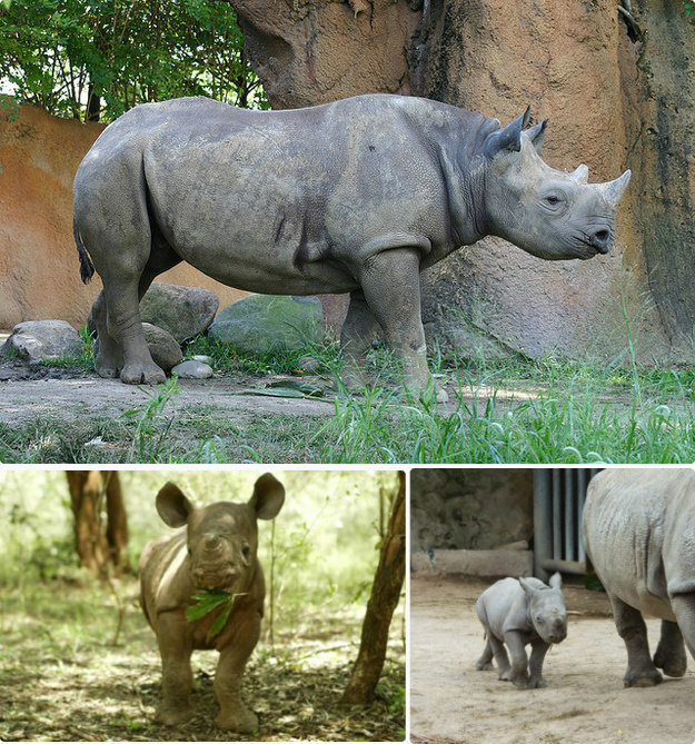 rhinoceroses - the most dangerous animals as babies