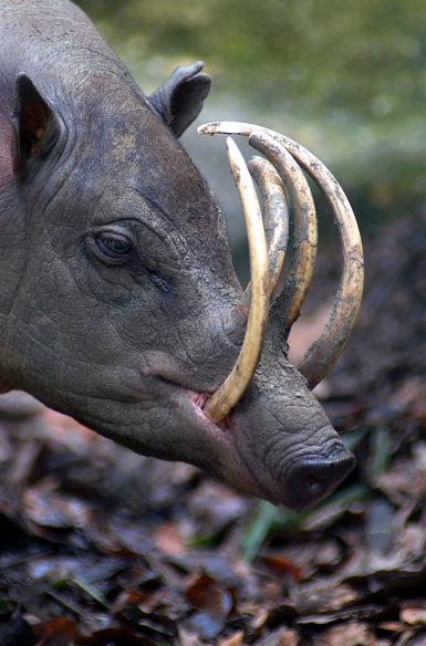 the babirusa - animals that you didn't know existed