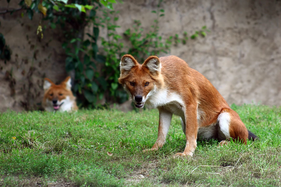 the dhole - animals that you didn't know existed
