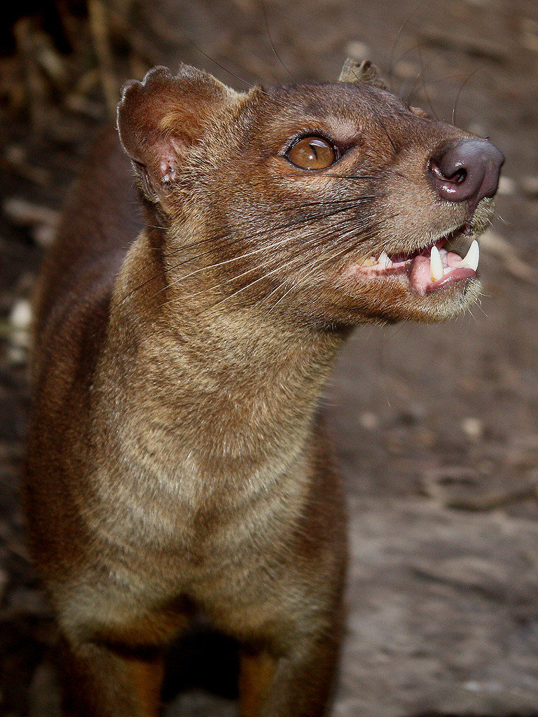 the fossa1 - animals that you didn't know existed