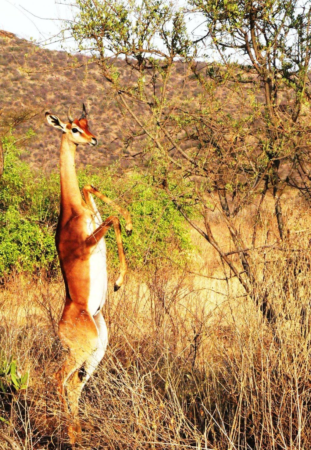 the gerenuk1 - animals that you didn't know existed